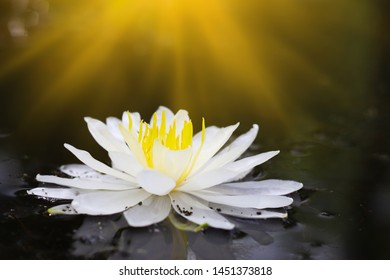 White water lily flower on the lake at summer day. Flowers background.