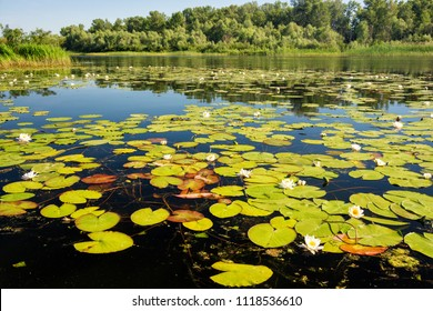 White water lily flowers on the river. Beautiful summer scenery.