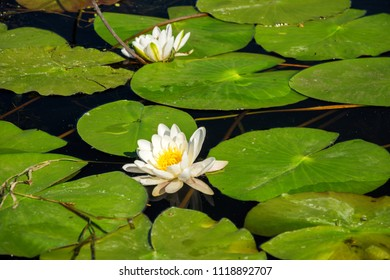 White water lily flowers on the water. Beautiful summer background.