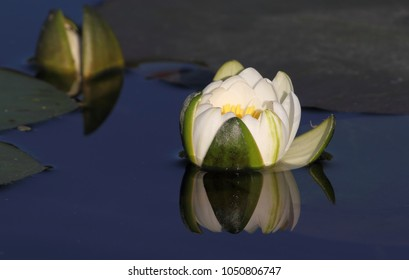 a white water lily with green leaves on a dark blue water background, on a clear sunny day