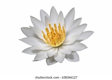White water lily isolated.