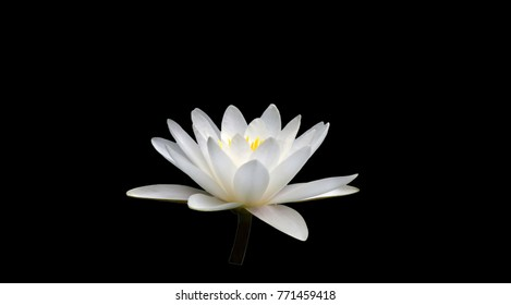 white water lily isolated black background