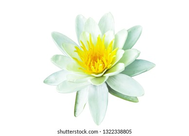White Water lily isolated on white background. Nymphaea flower cutout