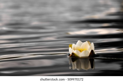White water lily in lake