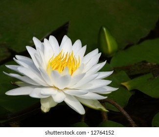 white water lily lake flower green yellow