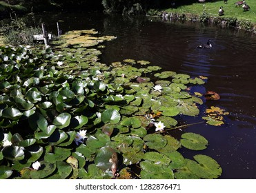 White Water lily, Lotus or Water Lilies flowers (Nymphaea Candida or Nymphaea Alba ) Family: Nymphaeaceae.