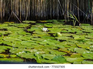 white water lily in the neretva river in Croatia