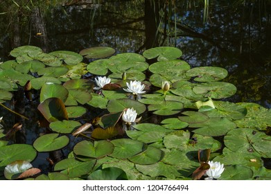 White water lily nymphaea blooming in autumn pond on still water surface, aquatic plant, symbol of chastity and tranquility