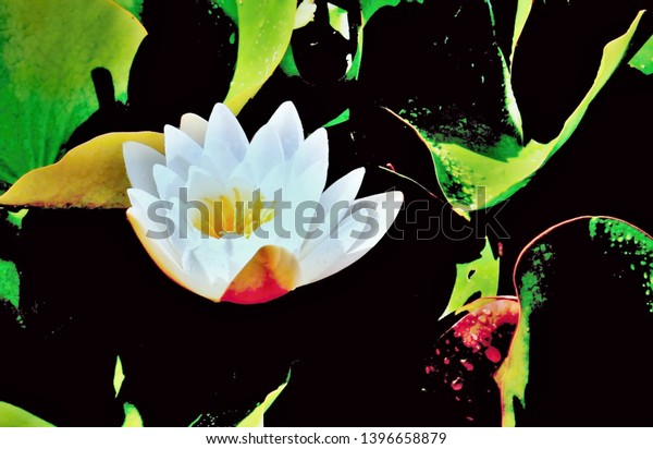 White water lily on a pond in nature with large leaves carrying drops of water.