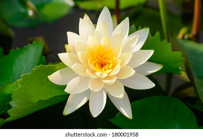white water lily on top view