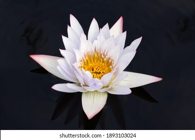 A white water lily with pink accents floats on a dark pond. This zen-like image evokes a sense of peace and tranquility.