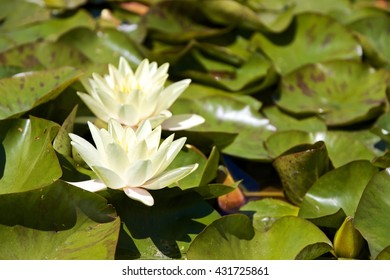 white water lily with yellow flowers core