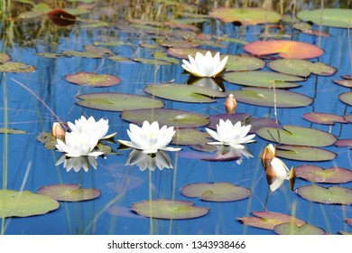 White waterlilies Nymphaea alba growing in a natural pond in a forest