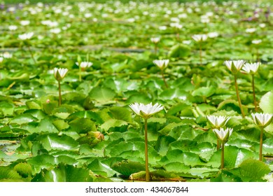 White waterlily in farm, Business Travel