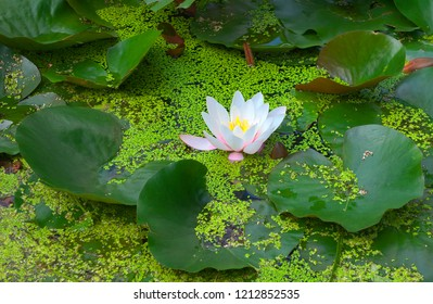 White waterlily with green leaves in a lake.