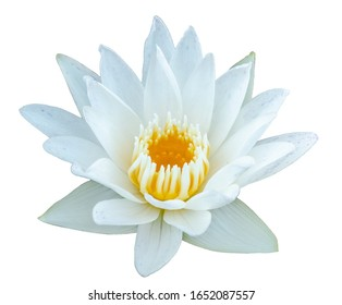 white waterlily or lotus isolated on white background with clipping mask selection path