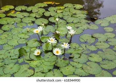 White waterlilys in the jungle pond