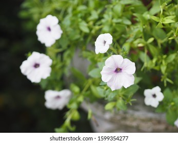 white wave silver color Petunia Hybrida, Solanaceae, name flower bouquet beautiful on blurred of nature