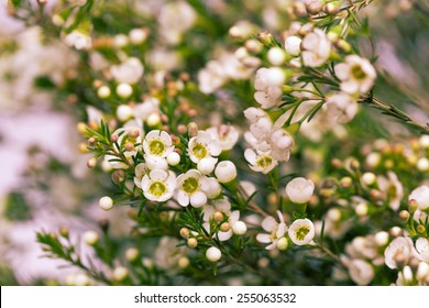 Wax flower images stock photos vectors shutterstock white wax flower in natural blured background mightylinksfo Choice Image