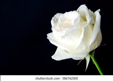White wedding rose close up isolated on dark black background / bird eye view of white rose on black