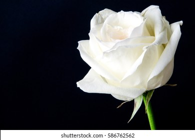 White Rose Black Background Images Stock Photos Vectors Shutterstock