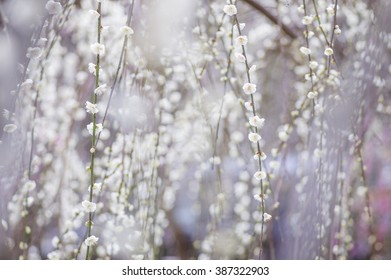 white weeping plum