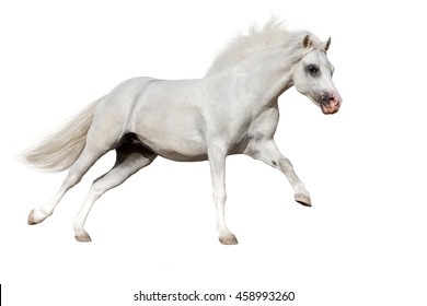 White welsh pony run gallop isolated on white background