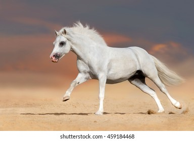 White welsh pony stallion with long mane run gallop in desert dust