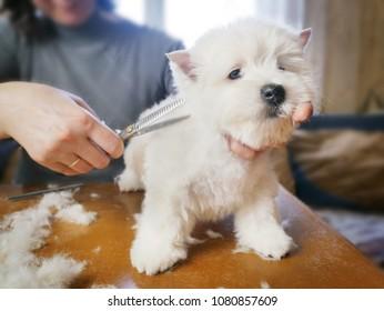 white west dog haircut