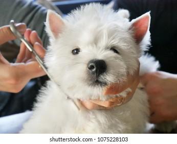 white west dog hairdress