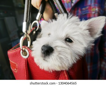 white west dog puppy into women bag, funny image