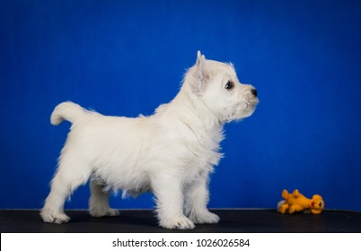White west terrier puppy posing in the studio blue background.
