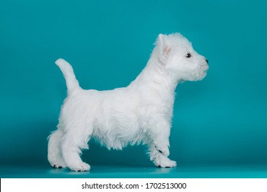 White west terrier puppy posing in the blue studio background.