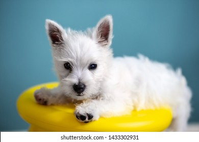 A White Westie Puppy on a Yellow Chair