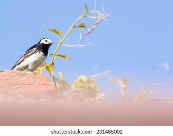 White Wigtail sitting on a rooftop