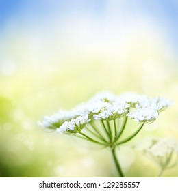 White wild carrot flower on a beautiful nature spring or summer bokeh background with blue sky and green grass. Very shallow focus.