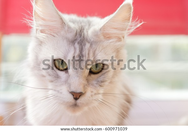 White wild cat in morning light on red chair