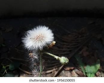 White Wild Dandelion flower,A dandelion flower head composed of numerous small florets (top), white natural Dandelion flower