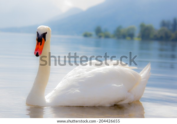 White wild elegant swan looking at the camera