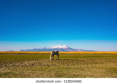 White wild free horse eating grass, grazing in the field in front of mountain. Erciyes Mountain in Kayseri Turkey. Sultan Sazligi national park in Develi Kayseri Turkey. Beautiful pastoral landscape.
