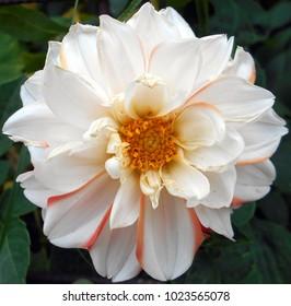 white wild rose with orange tones
