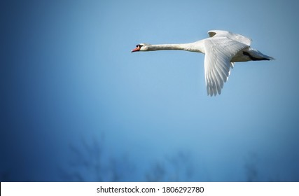 White wild Swan in flight before a long and long-distance flight to winter