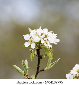 White wildapple tree blossom twig close up by a natural blurred background