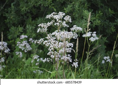 White wildflowers of Anise (Pimpinella anisum), also called aniseed, is a flowering plant in the family Apiaceae.