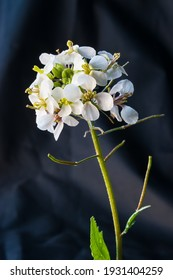 White wildflowers on a background of black cloth.