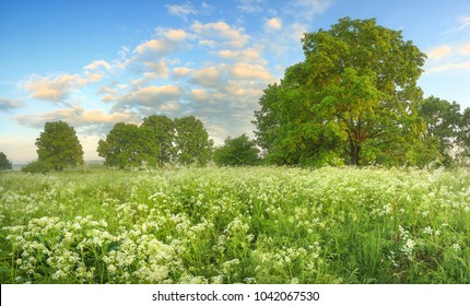 White wildflowers on meadow in spring morning. Beautiful spring scene. Natural spring landscape.