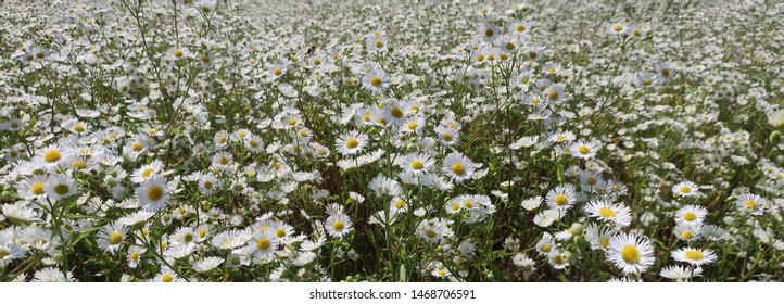 White wildflowers, Prairie Aster. Panoramic image of a field of wild white asters.