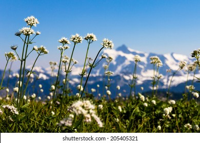 White wildflowers of Skyline Divide meadows with Mount Shuksan in the background, Washington State