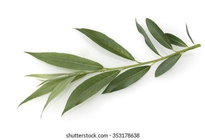 White willow; Salix alba