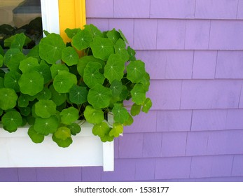 White window box against purple house with nasturtiums